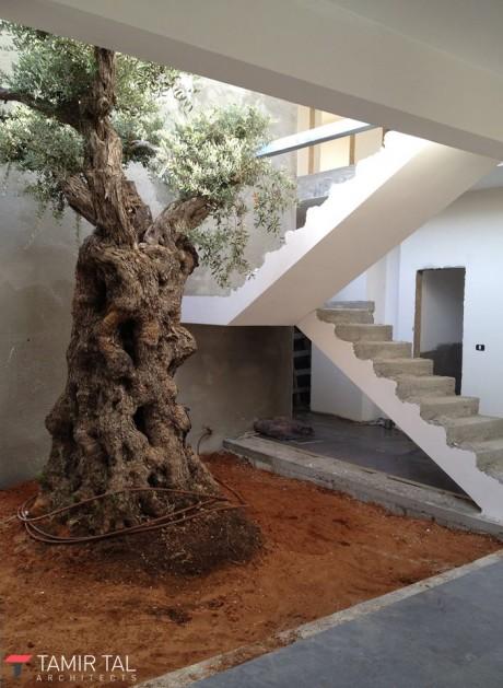 עץ הזית העתיק שסביבו תוכנן כל הבית